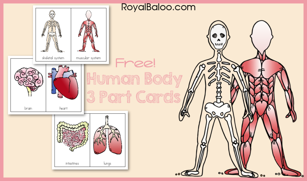 Human Body 3 Part Cards - Free 3 part cards for studying the parts of the human body!